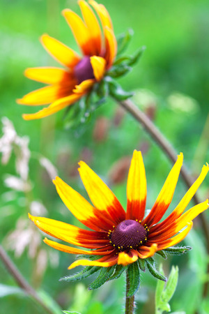 eyed: Bright yellow rudbeckia or Black Eyed Susan flower in the garden, summer, close-up, selective focus Stock Photo