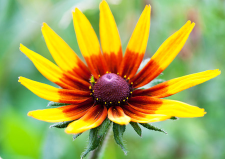 bright eyed: Bright yellow rudbeckia or Black Eyed Susan flower in the garden, summer, macro Stock Photo