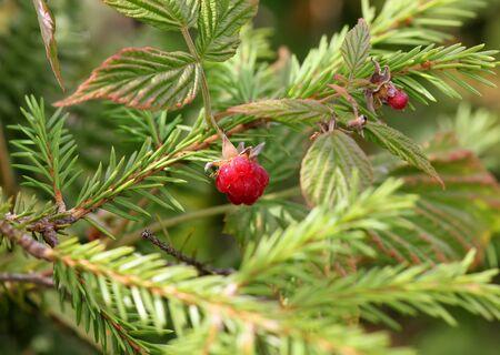 brambleberry: Forest wild red raspberries