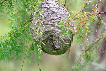 Huge grey papery social wasps nest built in and attached to a tree