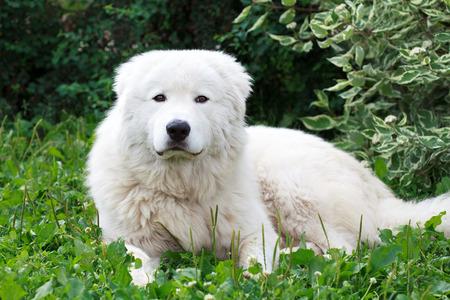 Maremma or Abruzzese patrol dog resting under a bush on the grass in the garden Standard-Bild