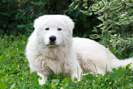 Maremma or Abruzzese patrol dog resting under a bush on the grass in the garden Stockfoto
