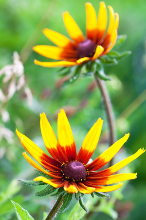 bright eyed: Bright yellow rudbeckia or Black Eyed Susan flower in the garden, summer, selective focus