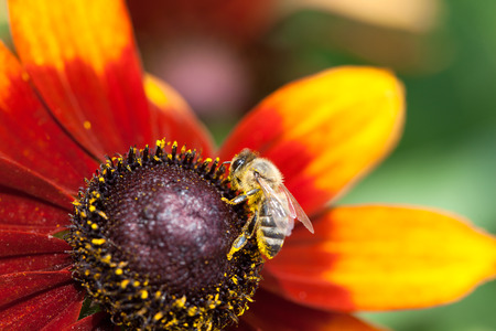 bright eyed: In the summer time a honey bee collecting nectar on a yellow rudbeckia or Black Eyed Susan flower, macro