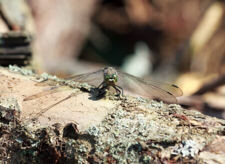 mimicry: wild grey dragonfly pratense with green eyes on a piece of old trunk, Selective focus, mimicry
