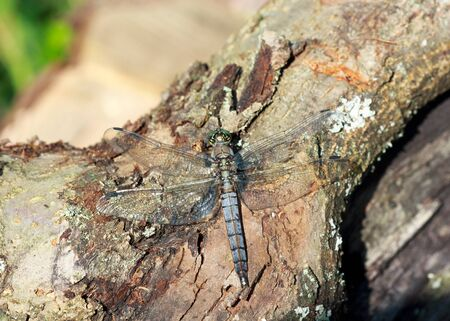 mimicry: wild grey dragonfly pratense on a piece of old trunk, selective focus, mimicry