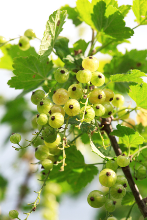 limpid: Branches and bunches of unripe white currants on a bush close-up, Some berries are in focus, the other are slightly out of focus.
