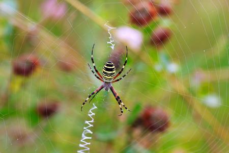 araneidae: wasp spider Argiope bruennichi on his web, selective focus