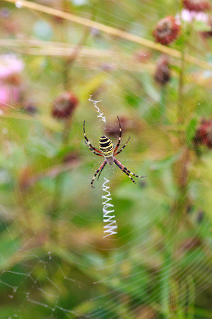 arachnida: wasp spider Argiope bruennichi on his web, selective focus