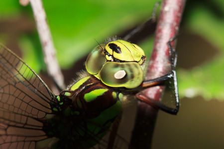 antenna dragonfly: Head of green Dragonfly Calopteryx virgo,, selective focus, macro