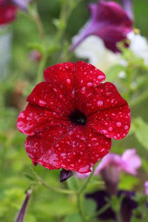Red Petunia flower after rain Stockfoto