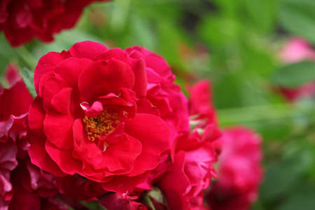 Beautiful bushes of red roses, close up. Selective focus Stockfoto