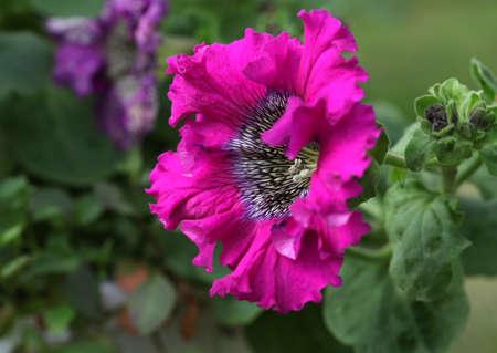 Pink Petunia petunia flower (Petunia Hybrida) close up
