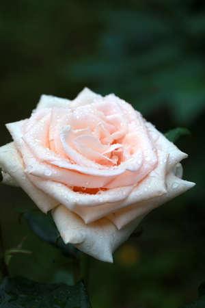 Soft pink rose flower on a dark background after rain