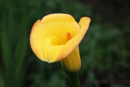 A yellow calla lily in the garden