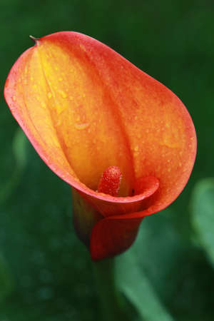 Orange calla flower in garden Stockfoto