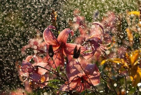Pink lily flower in the rain, selective focus on details, macro.