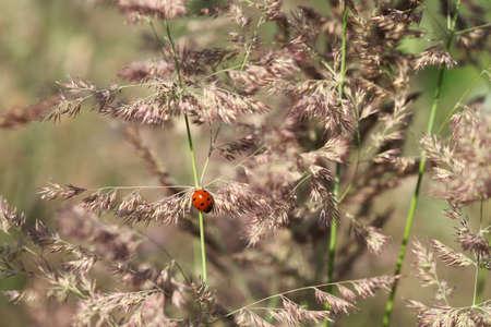 Ladybug on a blade of grass on the dawn. Selective focus. Zdjęcie Seryjne