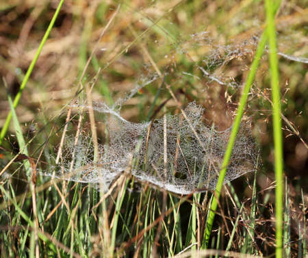 Cobweb at dawn with dew drops