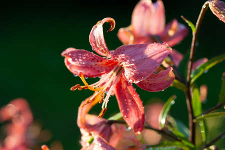 Pink lily flower after rain, selective focus on details, macro. Stockfoto