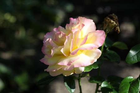 Soft pink rose flower on a dark background, close-up Stockfoto