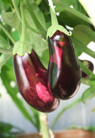 ripe purple eggplant growing in a greenhouse on farm Stockfoto