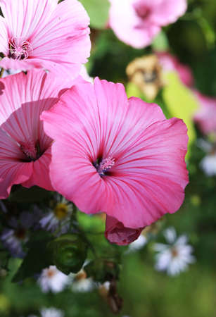 Flowers of pink Lavater or annual, rose, royal or regal Mallow in the garden close up