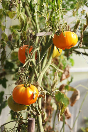 tomatoes growing in greenhouse, selective focus