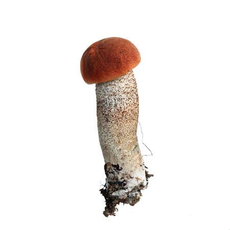 Mushroom orange-cap boletus isolated on white