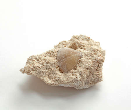 Brachiopod fossil of the Carboniferous period (Carbon) inside the limestone