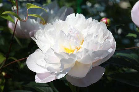 White peony flower in the garden on dark background.