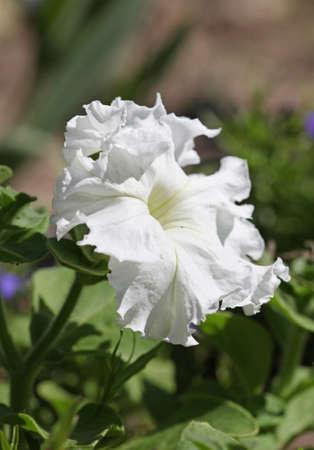 White Petunia flower, macro, close-up