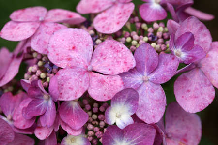 Purple-pink hydrangea flowers with water drops close-up.