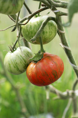 Ripe tomatoes of the Striped chocolate variety on a branch Standard-Bild