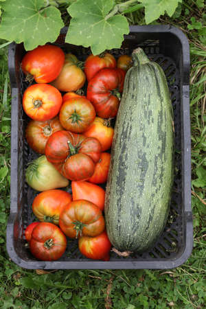 Ripe tomatoes and zucchini in a vegetable box