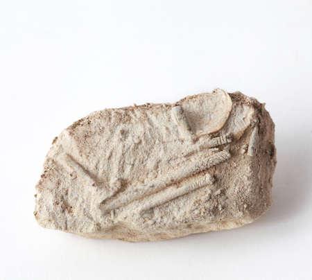 A group of sea urchin needles, a Carboniferous fossil in limestone Standard-Bild