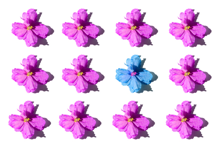 Pink flowers and one blue violet isolated on white background. Flat-lay, overview, holiday, Valentines Day concept