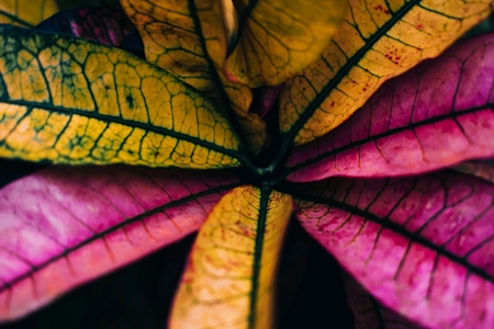 Beautiful croton flower with pink and yellow leaves on dark background Stock Photo