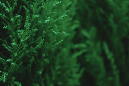Fondo de planta verde con espacio de copia. Plantilla de navidad