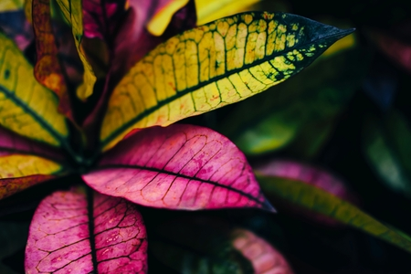 Beautiful croton flower with pink and yellow leaves on dark background 스톡 콘텐츠 - 124995079