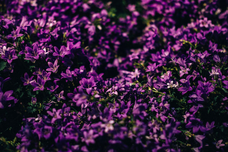Wildflower field with many purple blooms. Great natural spring and summer background Banco de Imagens - 124995084