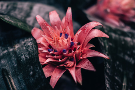 Beautiful pink bromelia flower. Great natural spring background 스톡 콘텐츠 - 124995182
