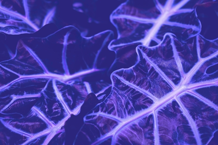 Purple neon leaves. Great background with copy space