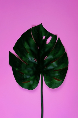 Juicy vibrant bold green tropical monstera leaf on pink background. Art neon surrealism concept Imagens - 124995197