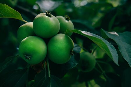 Green apples on branch with natural light and sunlight. Big harvest of fruits concept in garden. Healthy eco food. Summer autumn season Reklamní fotografie
