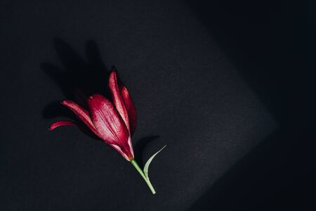Red flower with contrasting shadows on dark gray flat lay background. Bright lily composition top view. Spring, summer flora. Petals on color table concept Banco de Imagens