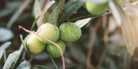 Branch with ripe green olives bunch close up. Traditional mediterranean plant, delicious natural fruit, organic olive oil ingredient. Tree twig with leaves and tasty vegan food on blurred background