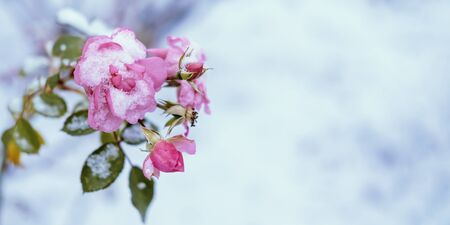 Banner of frozen and wilted pink rose under snow. Winter nature background with copyspace. Stock photography. Stok Fotoğraf