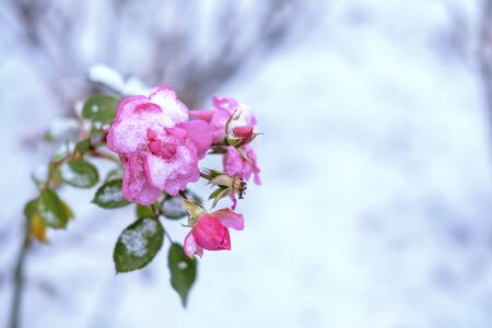 Frozen and wilted pink rose under snow. Winter nature background with copyspace. Stock photography.
