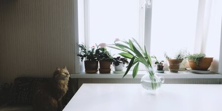 Red cat with yellow eyes sitting on chair and waiting something. Pink tulips in vase on white table. Home lifestyle. Flowers on windowsill. Domestic animal. Stock photo.
